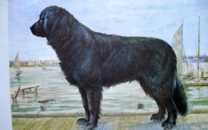 A painting of the now-extinct Moscow Water Dog.