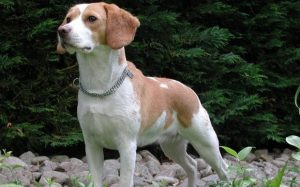 A dog sharing close resemblance with North Country Beagle.