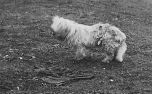 A Salish Wool Dog facing left.