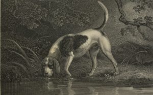 A sketch of a Southern Hound drinking water.