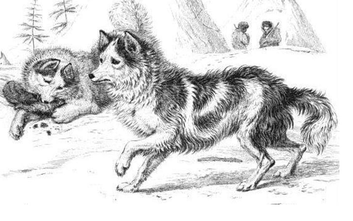 Two Tahltan Bear Dogs in the picture.