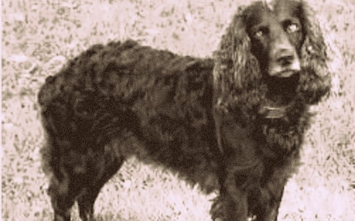 An old picture of a Toy Trawler Spaniel dog.
