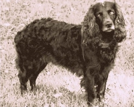 A Tweed Water Spaniel in picture.