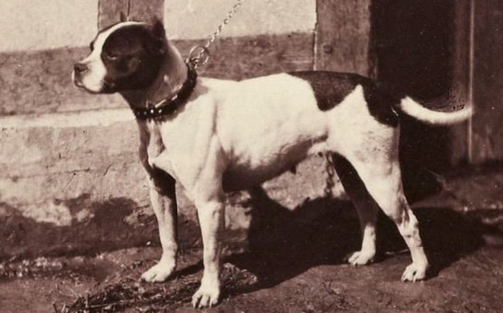 A standing Bull and Terrier facing left.