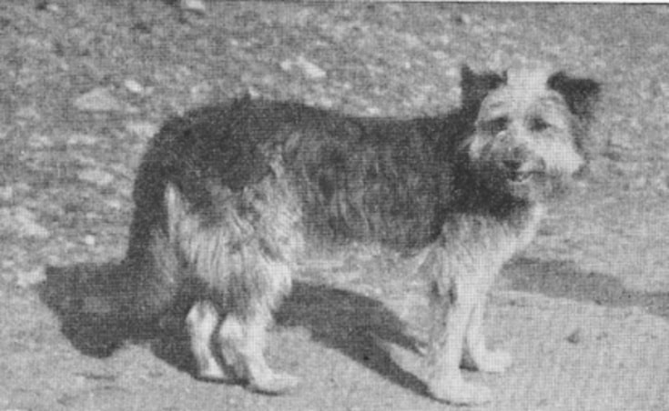 Old Welsh Grey Sheepdog Old Rare Photo