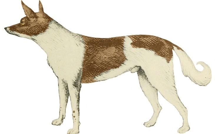 A standing Fuegian dog.