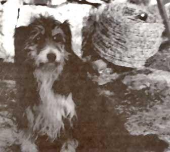 Old Welsh Grey Sheepdog