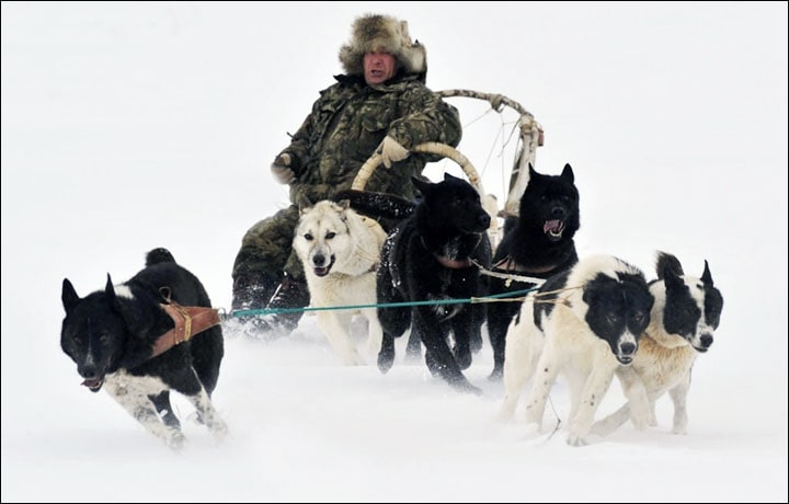 Sakhalin Husky dragging Sledge.