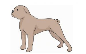A sketch of a Terceira Mastiff.