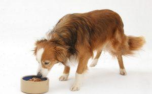 A Border Collie eating dog food.