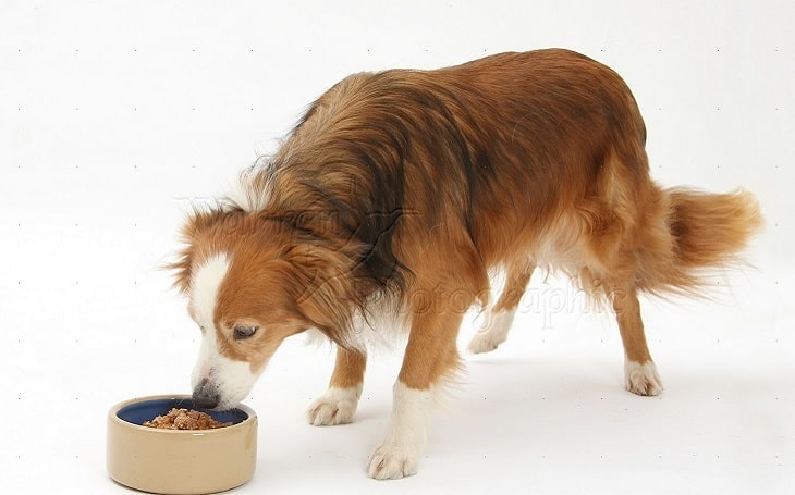 A Border Collie eating dog food.