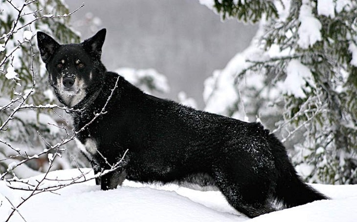 A picture of a now-extinct Lapponian Shepherd in snow.