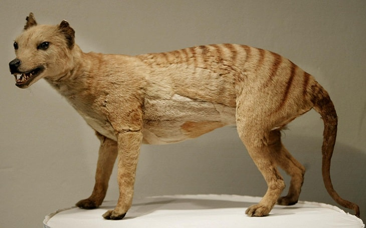 A 3D statue of now-extinct Thylacine.