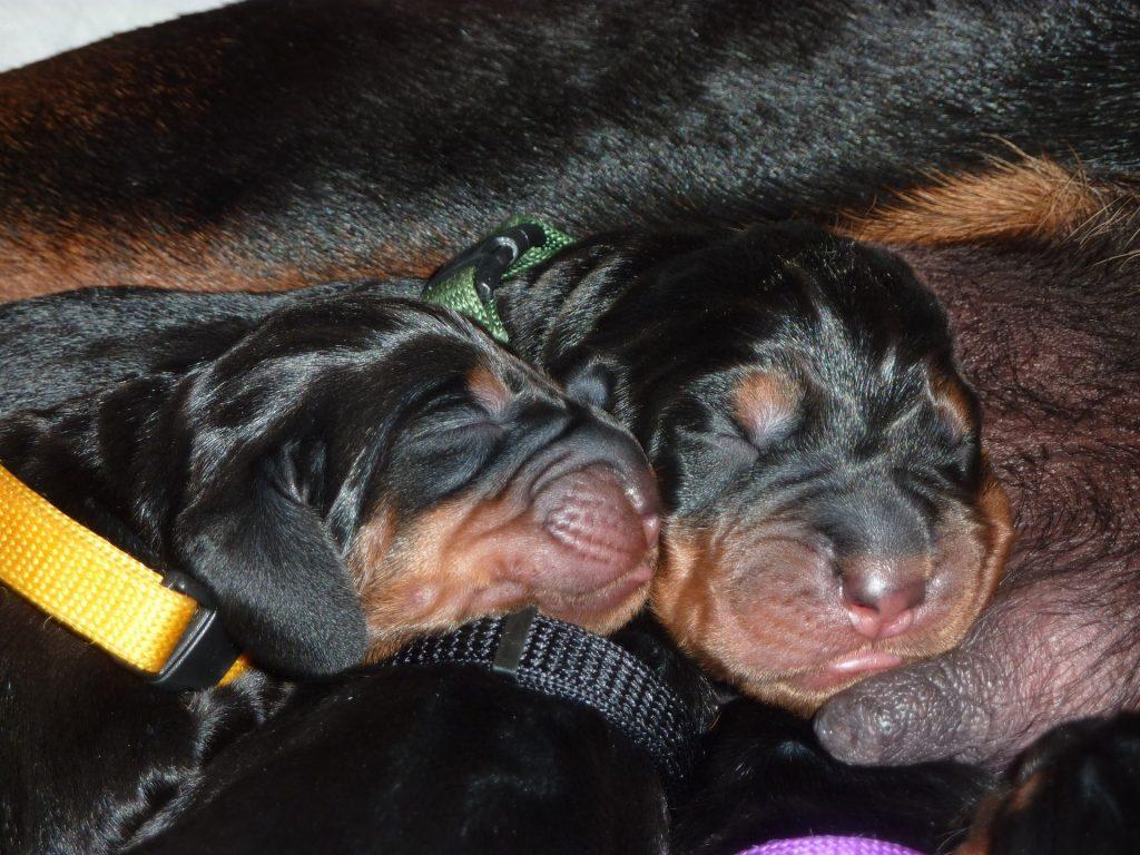 Newborn Black and Tan Coonhound.
