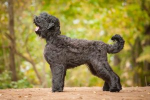 Black Russian Terrier Feeding Methods.