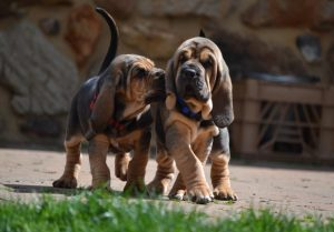 Bloodhound Puppies.