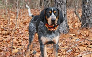 An adult Bluetick Coonhound standing in the woods.