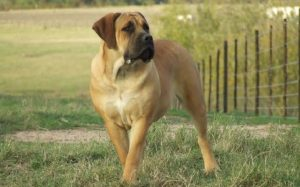A huge and muscular Boerboel standing and looking right.