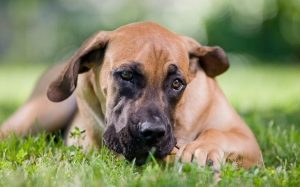 A picture of a sitting Boerboel dog.