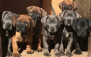 A group of Boerboel puppies standing together.