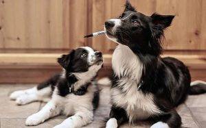 A picture of a Border Collie puppy with its mamma.