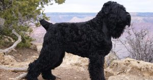 Black Russian Terrier Training.