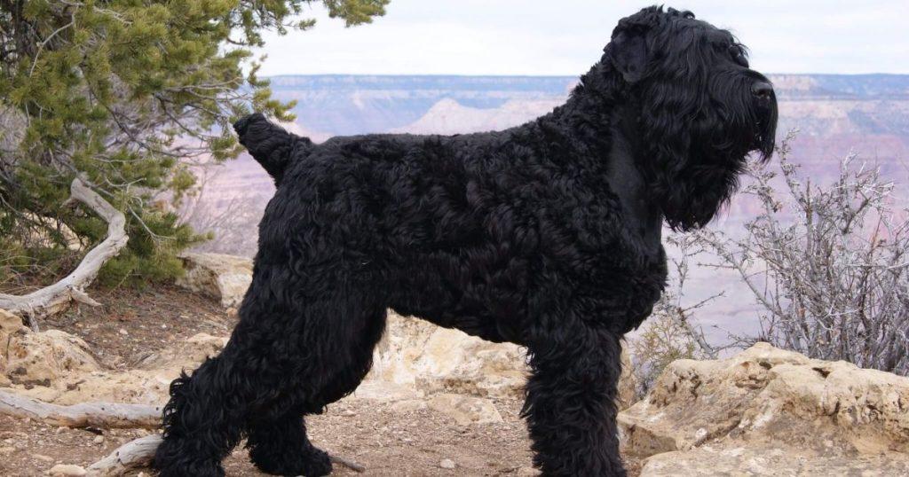 Black Russian Terrier Training.