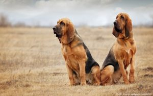 Bloodhound Training Methods.