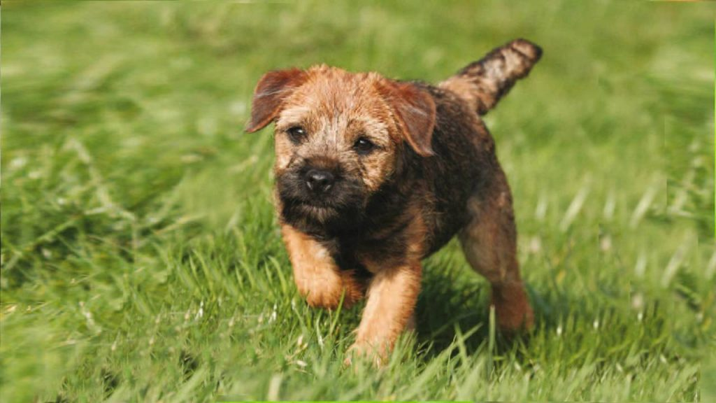 Border Terrier Puppy.