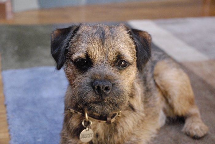 Diet and supplement for Border Terrier.