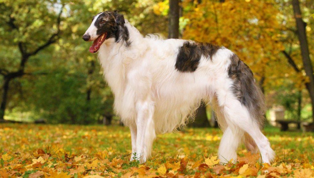 Borzoi Dog Breed.