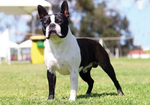 Boston Terrier Dog.