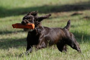 Boykin Spaniel Playing.