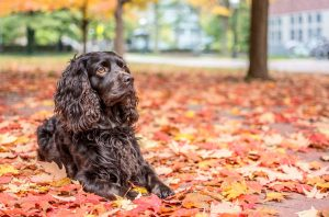 About Boykin Spaniel Dog Diet.