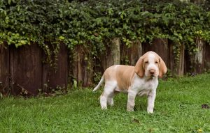 Bracco Italiano Puppy growth stage.