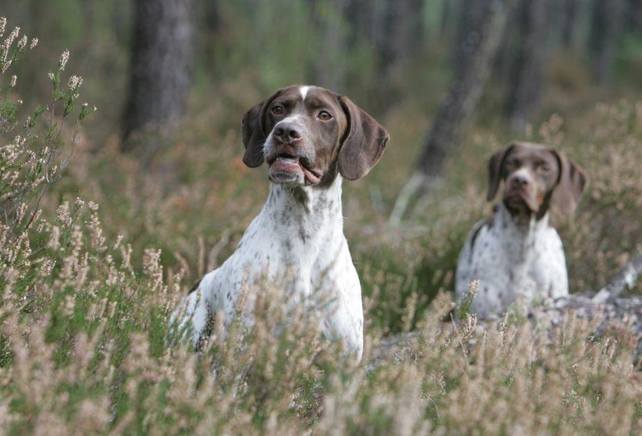 Braque Francais Pyrenean Dog Behavior.