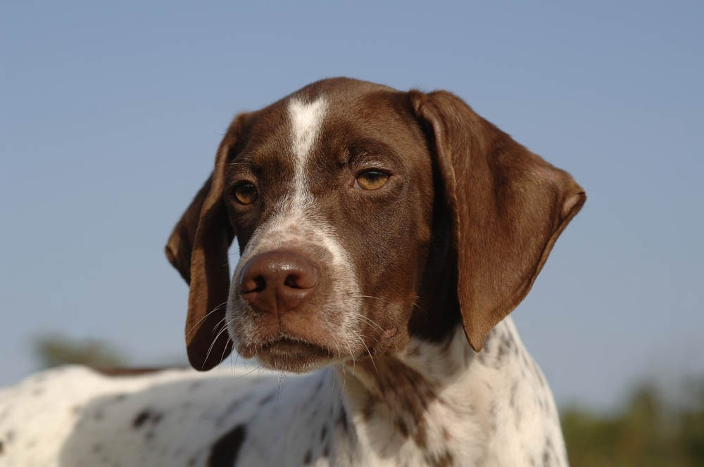 Braque Francais Pyrenean Dog Training Methods.