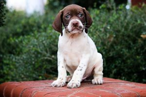 Braque Francais Pyrenean Puppy Behavior Growth.
