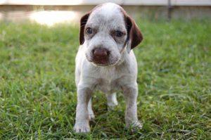 Braque du Bourbonnais puppy.