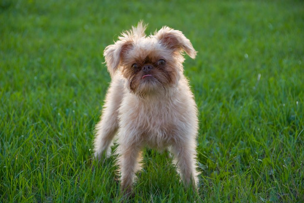 Training Strategies and Methods For Brussels Griffon.