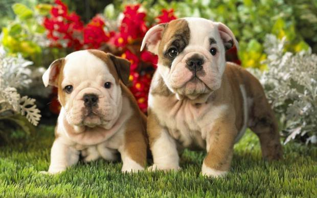 Bulldog Puppies.