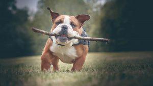 Bulldog dog training methods.