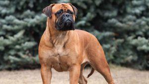 Bullmastiff Dog Training Methods and Strategies.