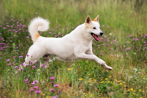 Canaan Dog Training Methods and Strategies.
