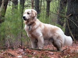 White Golden Retriever Lost In The Woods.