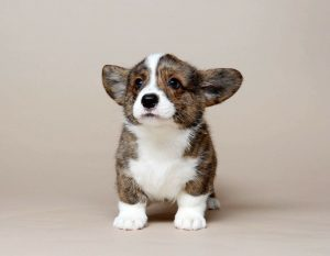 Cardigan Welsh Corgi Puppy Development Stage.