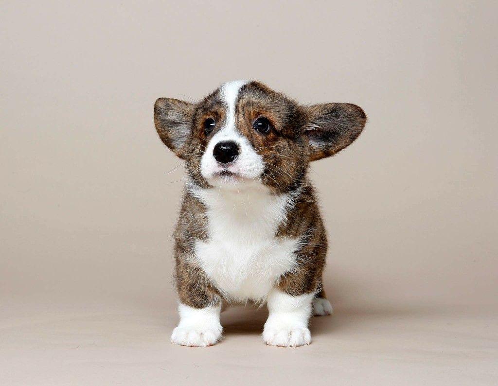 Cardigan Welsh Corgi Puppy Development Stage.