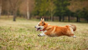 Cardigan Welsh Corgi Training.