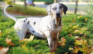 Training Methods and Strategies For Catahoula Leopard Dogs.