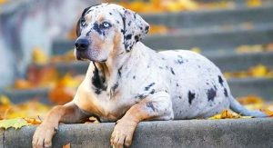 Temperament and Personality of Catahoula Leopard Dogs.